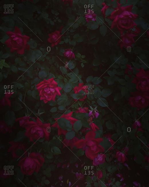 A dark rose bush in bloom
