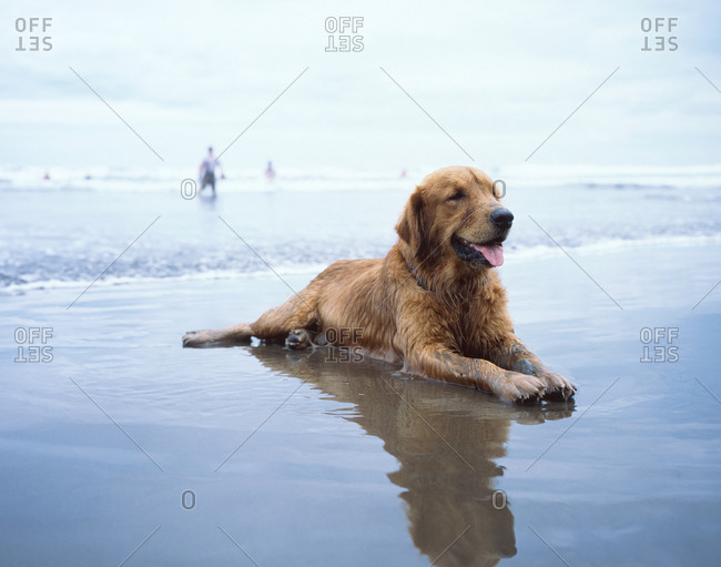 Golden retriever relaxing in the ocean tide