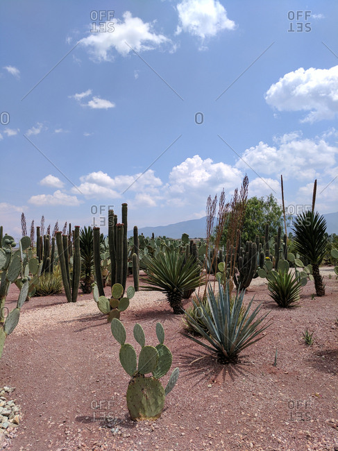 Cactus plant varieties in field