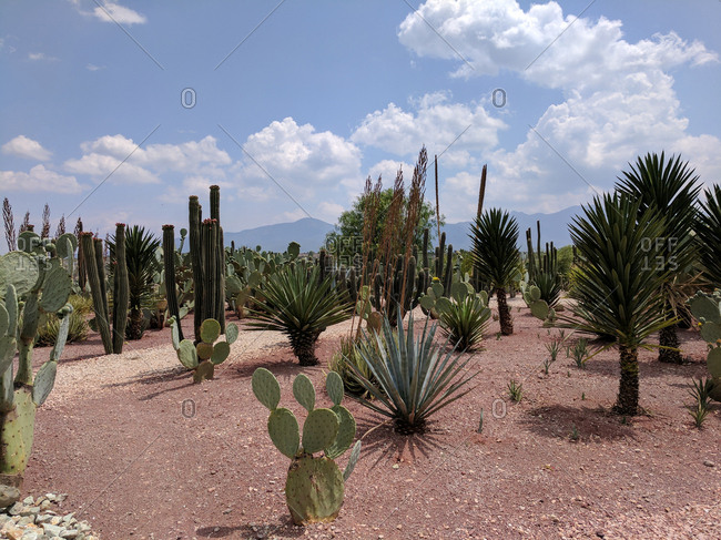 Cactus plant varieties in a field