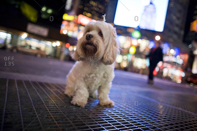 A small white dog in the city