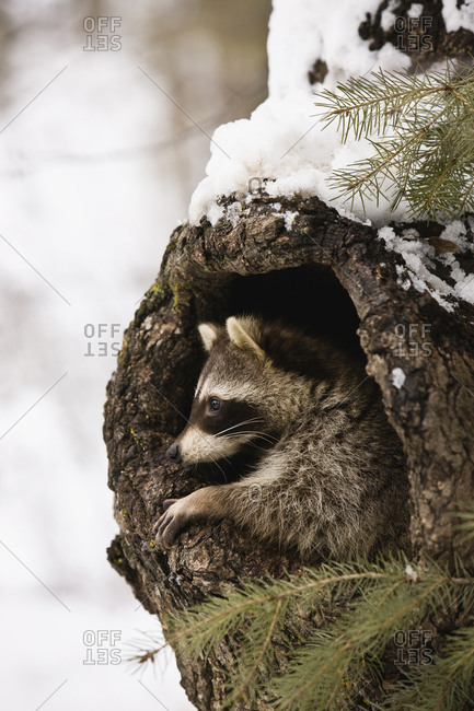 A raccoon in the hole of a tree trunk