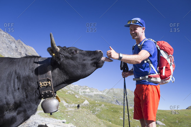 Cow licking hand of male hiker in mountains