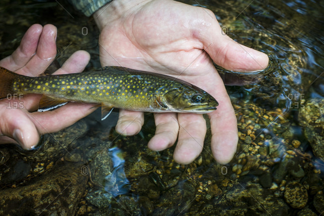 Person holding young brook trout (Salvelinus fontinalis)