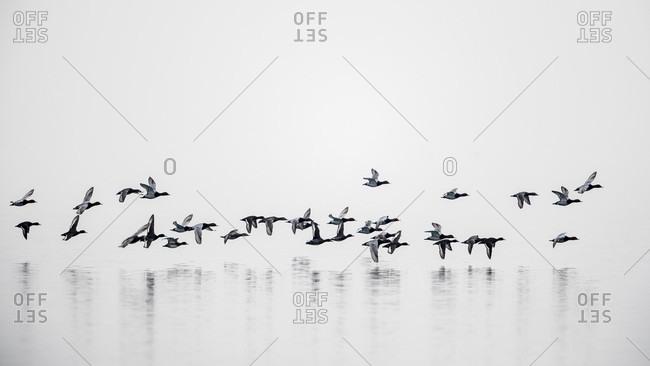 Group of mallard ducks flying above Geneva Lake on cloudy day