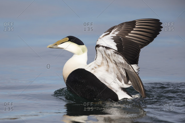 Common eider duck stretching his wings