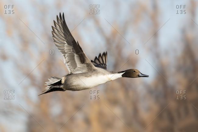 Northern pintail duck in flight