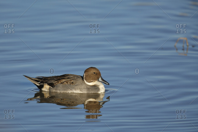 Northern pintail duck on water