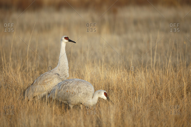Two sandhill cranes feeding in the fields of national wildlife refuge
