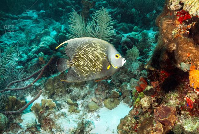 Angelfish swimming at underwater reef