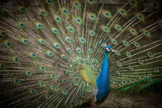 Peacock with feathers fanned out