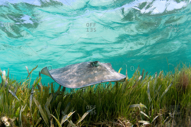 Sting ray swimming in tropical water
