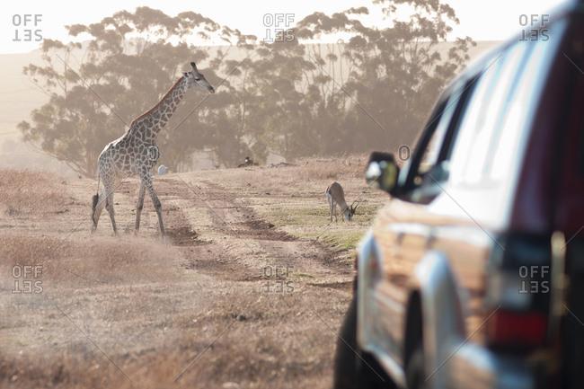 Giraffe by vehicle, Stellenbosch, South Africa