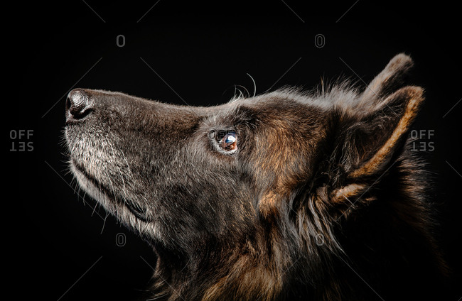Studio portrait of alsatian dog looking up