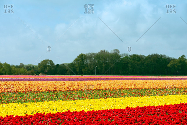 Multi colored tulip fields, Egmond, Netherlands