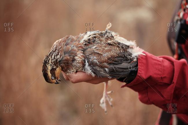Hunter holding dead quail