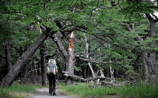 Woman hikes in beech forest in Los Glaciares National Park, El Chalten, Argentina