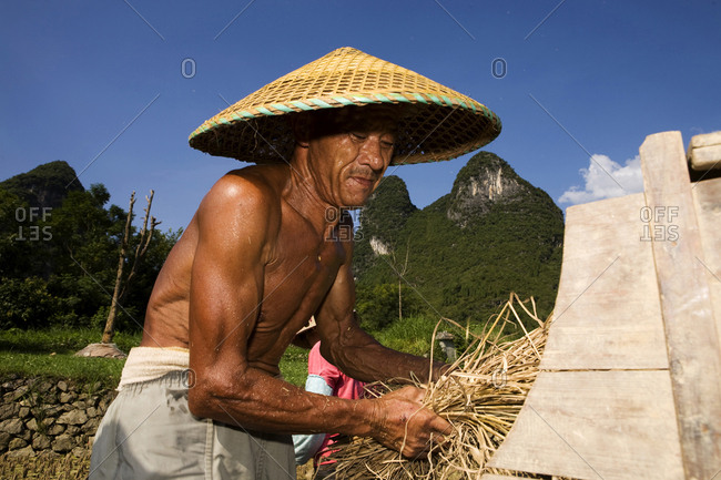 Yangshuo, People's Republic of China - January 1, 2000. A proud and hard working Chinese rice farmer in Yangshuo (Guangxi region) is collecting the harvested and dried rice straws