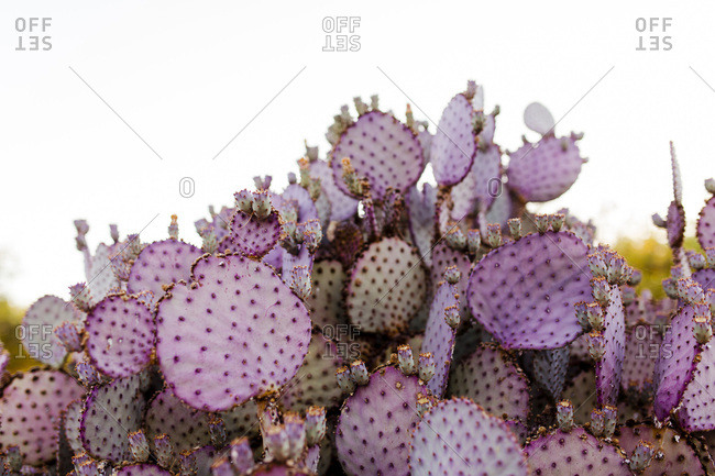 Large purple-tinted cactus growing outdoors
