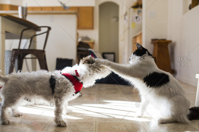 Cat and small dog play-fighting on a kitchen floor