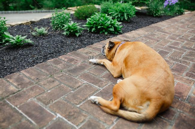 Dog lying on brick walkway looking away