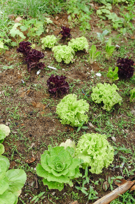 Lettuce orchard in the countryside of Guatape, Colombia