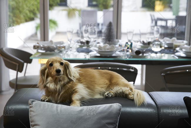 Pure breed long haired miniature dachshund  in front of out of focus silver and white Christmas decorations