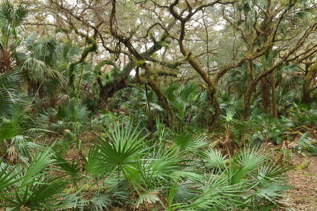 Live oak trees with saw palmetto in the understory