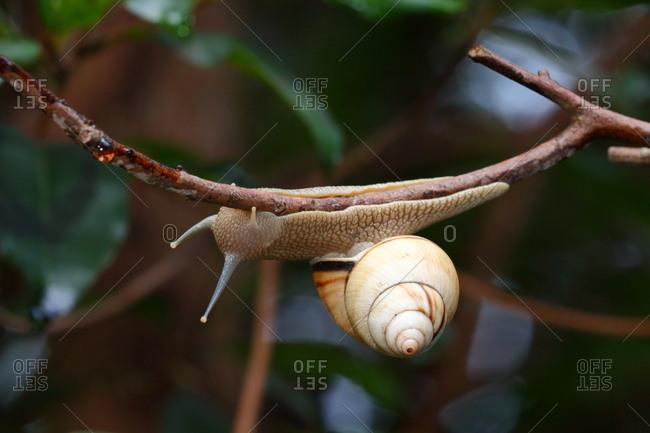 A Florida tree snail, Liguus fasciatus