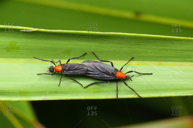 Love bugs, Plecia nearctica, a nuisance to motorists, are actually a species of fly