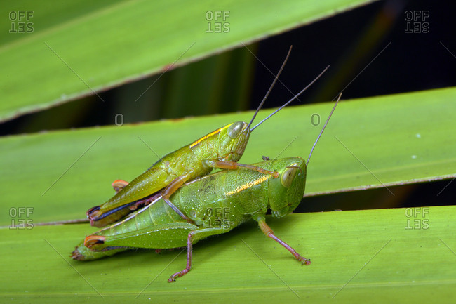 A pair of wingless Florida grasshoppers, Aptenopedes aptera, on palmetto