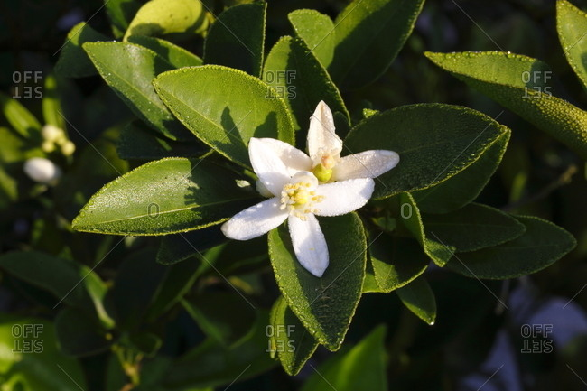 Florida citrus orange blossoms