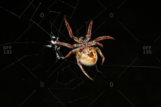 A tropical orb weaver spider, Eriophora ravilla, in the center of its web