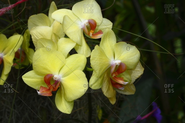 A Phalaenopsis orchid growing at a botanical garden