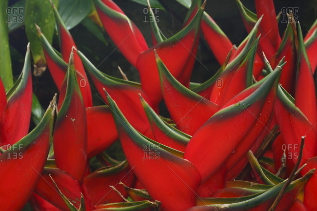 Heliconia bihai growing at a botanical garden