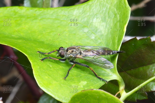 A robber fly, Diogmites species, resting on a leaf