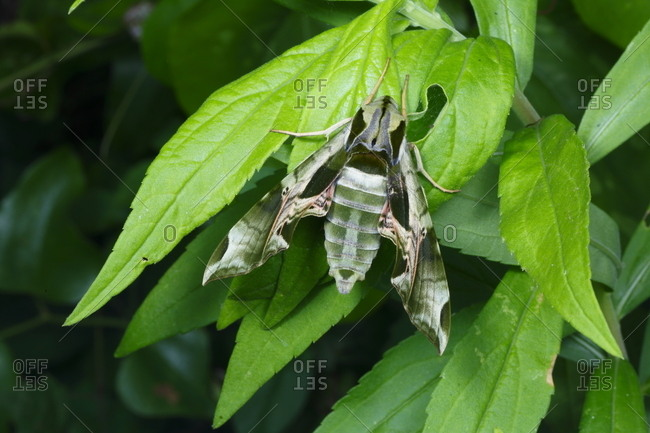 A pandorus sphinx moth, Eumorpha pandorus, resting on green leaves