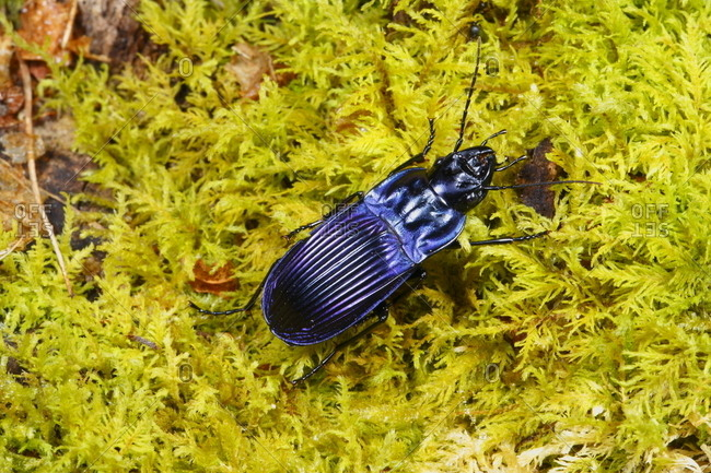 Close up of a violet ground beetle, Chalosoma claenius