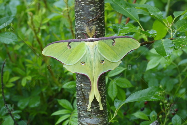 A Luna moth, Actias luna, rests on a cherry tree trunk