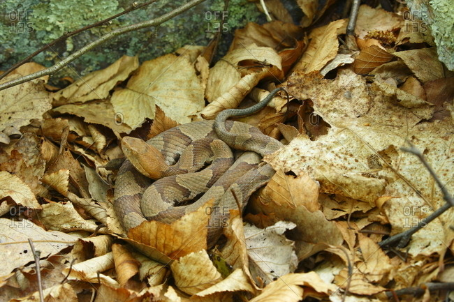 A venomous northern copperhead snake, Agkistrodon contortrix mokason, blending into the dead leaves where it rests