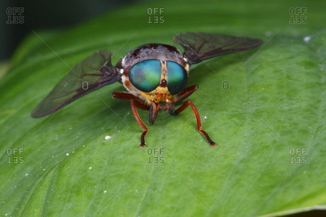 A green-eyed horse fly, Chrysops species, rests on a leaf
