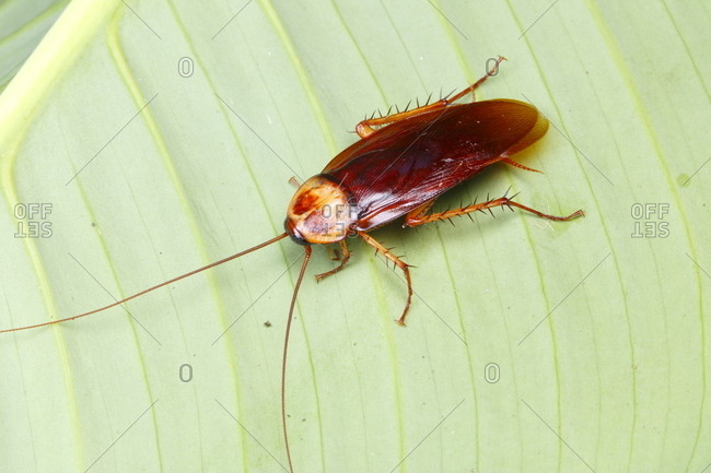 An American cockroach, Periplaneta americana, rests on a leaf