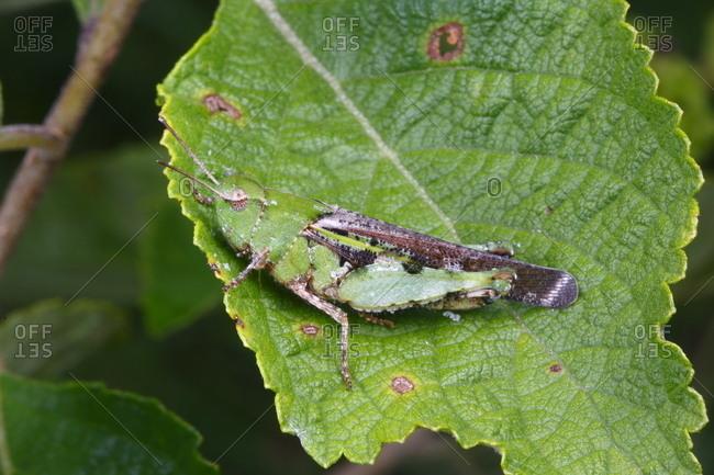 A female southern green striped grasshopper, Chortophaga austrailor, rests on a leaf
