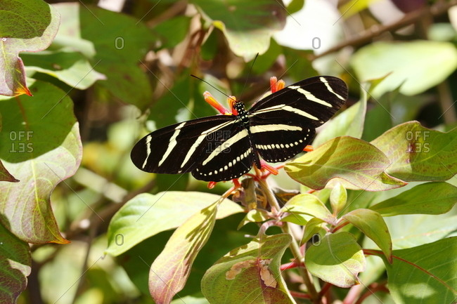 A zebra long-wing butterfly, Heliconius charithonia