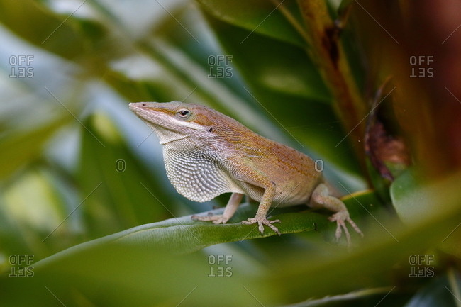 A green anole, Anolis carolinensis, rests on a tree branch