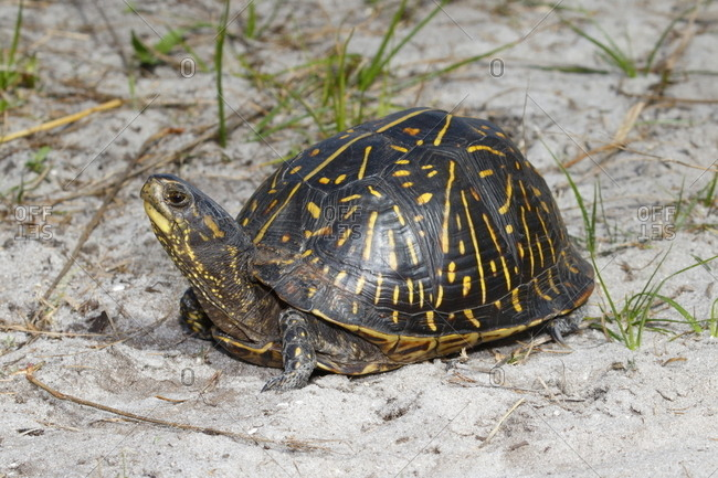 A Florida box turtle, Terrapene Carolina bauri