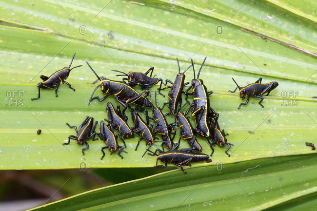 Lubber grasshopper nymphs, Romalia guttata, emerge from the ground in large groups
