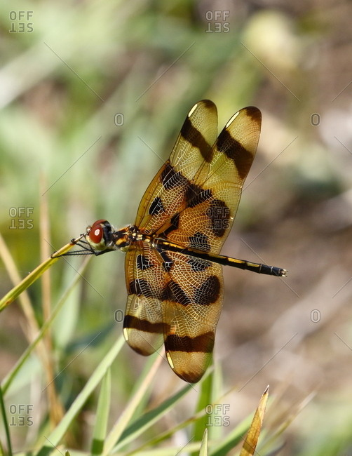 Close up of a halloween penant, Celithemis eponia