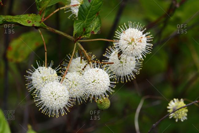 Buttonbush, Cephalanthus occidentalis, blossoms