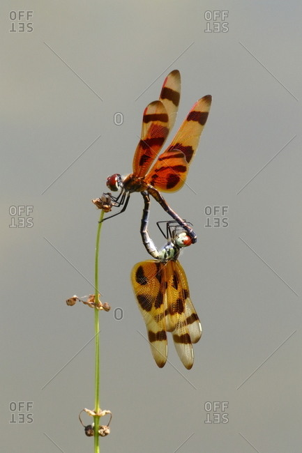 The Halloween pennant, Celithemis eponina, forms a mating wheel when copulating